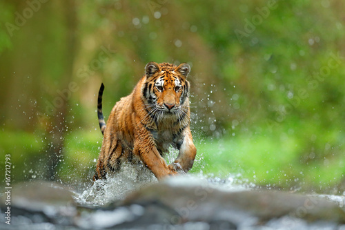 Foto auf AluDibond Tiger Tiger with splash river water. Action wildlife scene with wild cat, nature habitat. Tiger running in the water. Danger animal, tajga in Russia. Animal in the forest stream. Grey Stone, river droplet.