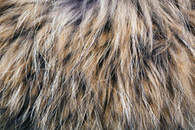 Texture Of The Fur Raccoon With A Long Nap