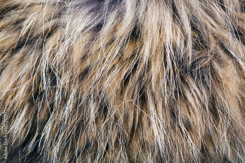 Fotografía Texture of the fur raccoon with a long nap