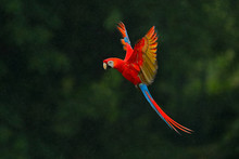 Red Parrot In Rain. Macaw Parr...