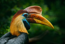 Knobbed Hornbill, Rhyticeros Cassidix, From Sulawesi, Indonesia. Rare Exotic Bird Detail Eye Portrait. Big Red Eye. Beautiful Jungle Hornbill, Wildlife Scene From Nature. Orange And Blue Bird Head.