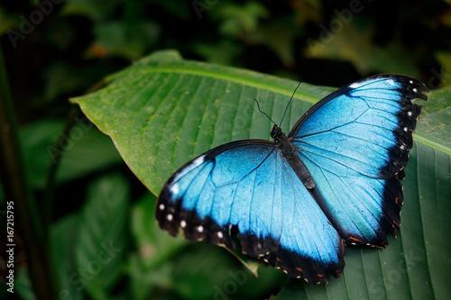 Fotografie, Obraz  Blue butterfly from Mexico.