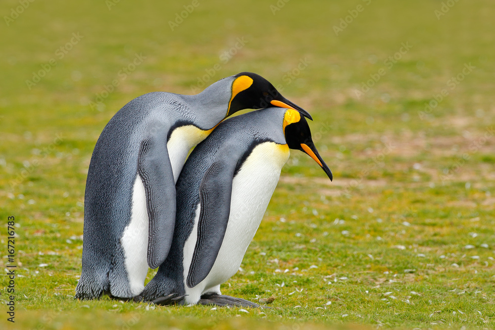 Animal love. King penguin couple cuddling, wild nature, green background. Two penguins making love. in the grass. Wildlife scene from nature. Bird behaviour, wildlife scene from nature, Antarctica.