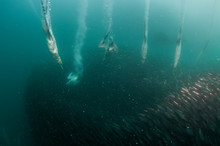 Cape Gannets Diving Into A Sardine Bait Ball During The Sardine Run, South Africa