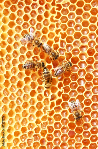 Poster Bee Bees on Honeycomb