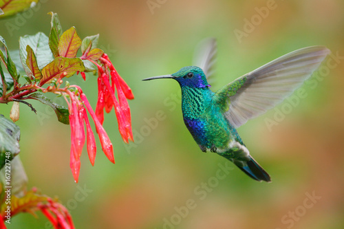 Ingelijste posters Vogel Hummingbird with red flower. Green and blue hummingbird Sparkling Violetear flying next to beautiful red bloom. Wildlife scene from nature. Birdwatching in Ecuador. Hummingbird from Tandayapa.