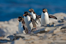Rockhopper Penguin, Eudyptes Chrysocome, With Blurred Dark Blue Sea In Background, Sea Lion Island, Falkland Islands. Wildlife Animal Scene From Nature. Bird On The Rock. Four Penguins Run On The Rock