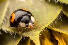 Harlequin Ladybird, Harmonia Axyridis