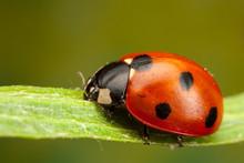 Seven Spot Ladybird, Coccinella Septempunctata