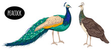 Male And Female Peacock On Whi...