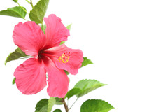Beautiful Pink Hibiscus Flower...