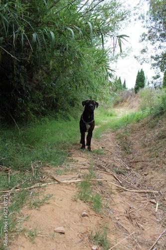 Photo  chien cane corso dehors