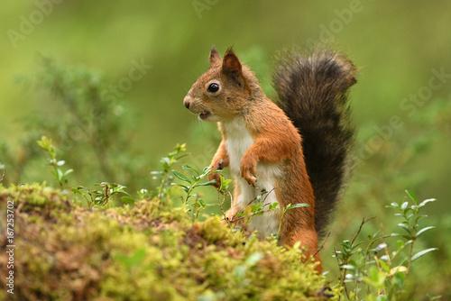 Cadres-photo bureau Squirrel Red Squirrel (Sciurus vulgaris)