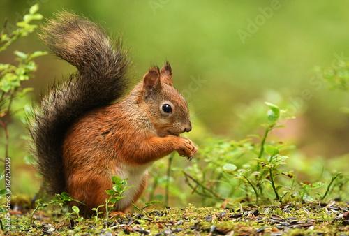 Foto op Canvas Eekhoorn Red Squirrel (Sciurus vulgaris)