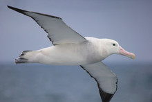 Flying Wandering Albatross, Sn...