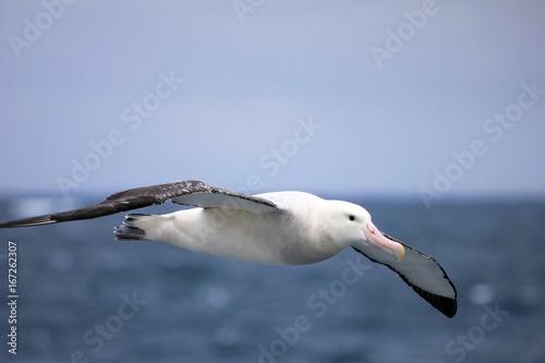 Cuadros en Lienzo Flying Wandering Albatross, Snowy Albatross, White-Winged Albatross or Goonie, d
