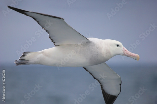 Fotografija  Flying Wandering Albatross, Snowy Albatross, White-Winged Albatross or Goonie, d