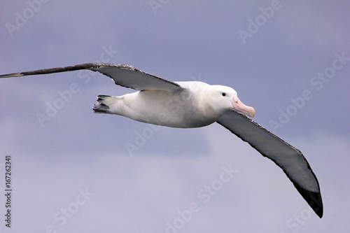 Cuadros en Lienzo Flying Wandering Albatross, Snowy Albatross, White-Winged Albatross or Goonie, d