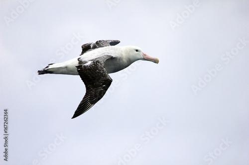 Obraz na plátně  Flying Wandering Albatross, Snowy Albatross, White-Winged Albatross or Goonie, d