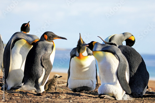 King penguins with chick, aptenodytes patagonicus, Saunders Falkland Islands Malvinas