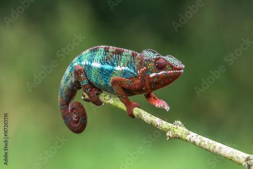 In de dag Kameleon Chameleon Furcifer pardalis Ambolobe 2 years old, Madagascar endemic Panther chameleon in angry state, pure Ambilobe (Chamaeleoninae)