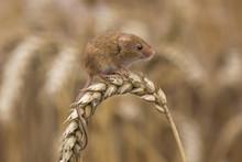 Harvest Mouse (Micromys Minutu...