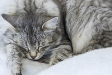 Silver Cat Sleeping On A White...