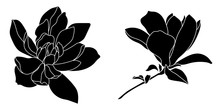 Set Of Graphical Hand Drawn Magnolia Flowers. Vector.