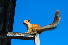 Squirrel Sits On Blue Sky Background