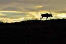 Namibia NamibRand Nature Reserve Oryx Sunset