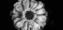 Elegant Black White Floral Background Zinnia Flower. Macro View Selective Focus Monochrome Photography, Up View