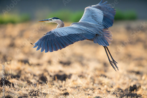 Obraz na plátne Great blue heron about to land, seen in the wild in North California