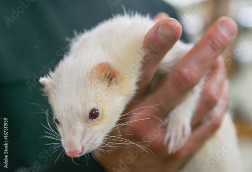Fotografie, Obraz  Man holding an Albino ferret