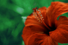 Red Hibiscus Close-up. Bright Large Flower Of Red Hibiscus In Nature Background.
