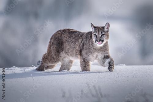 Poster Puma Cougar(Puma concolor