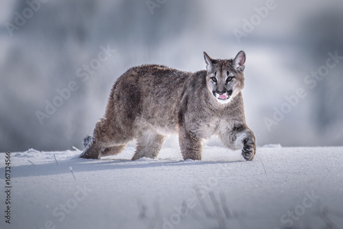 Ingelijste posters Puma Cougar(Puma concolor