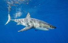 Great White Shark Underwater View, Guadalupe Island, Mexico.