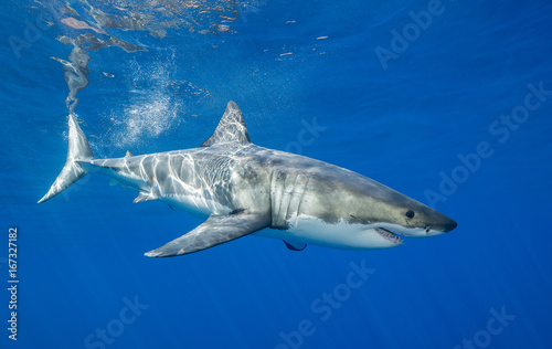 Great white shark underwater view, Guadalupe Island, Mexico. Canvas Print