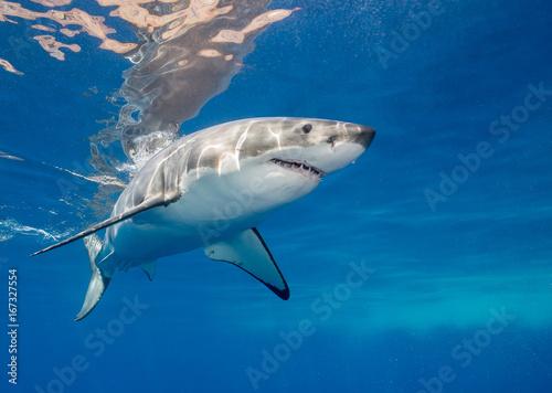 Obraz na dibondzie (fotoboard) Wielkiego białego rekinu podwodny widok, Guadalupe wyspa, Meksyk.