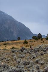 Lone Elk in Yellowstone