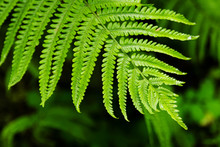 The Top View On The Green Leaf Of Fern On A Black-green Background.