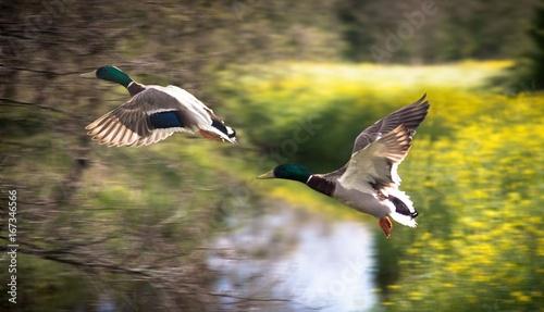 Fototapeten Natur 2 eenden in vlucht