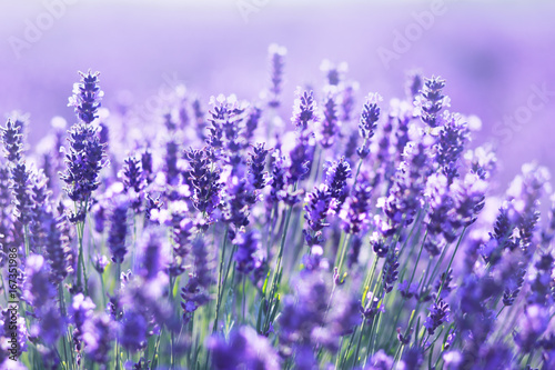 Photo sur Aluminium Lavande close up shot of lavender flowers
