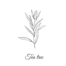 Tea Tree Sketch Branch Vector Illustration. Tea Tree