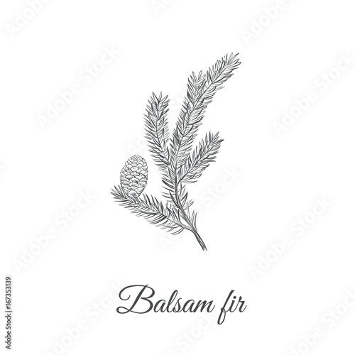 Balsamic fir sketch hand drawing Canvas Print