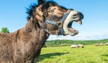 Lustiger, Lachender Oder Schreiender Esel Auf Grüner Wiese Vor Blauem Himmel