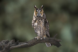 Long-Eared Owl (Asio otus) - Night Hunter, Able to Catch Prey in Almost Total Darkness - 167372511