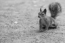 Surprised Small Forest Squirrel On The Ground - Black And White