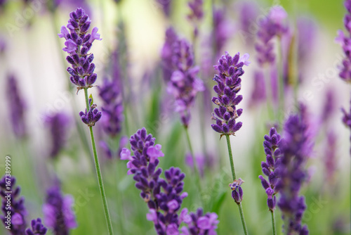 Fototapeta growing lavender obraz