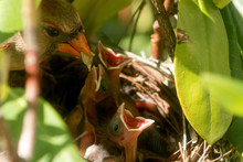Female Cardinal Bird Brings Fo...